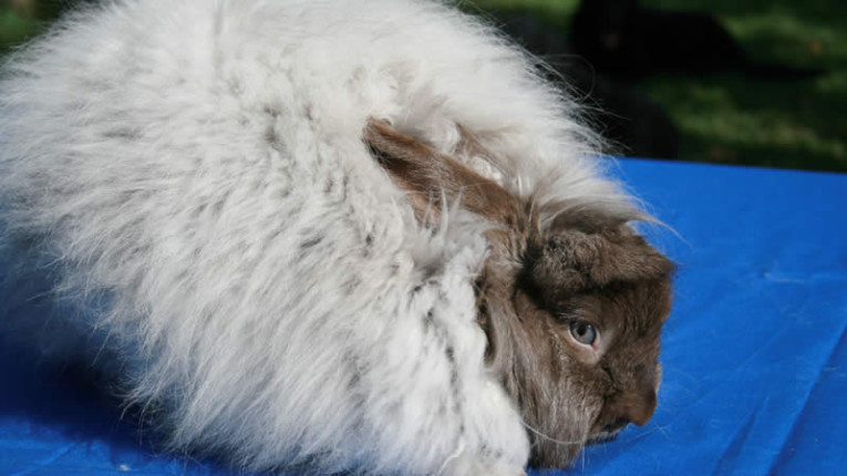 Show grooming of Angora Rabbits