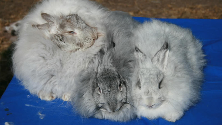 Angora Rabbit - Expensive Hobby?