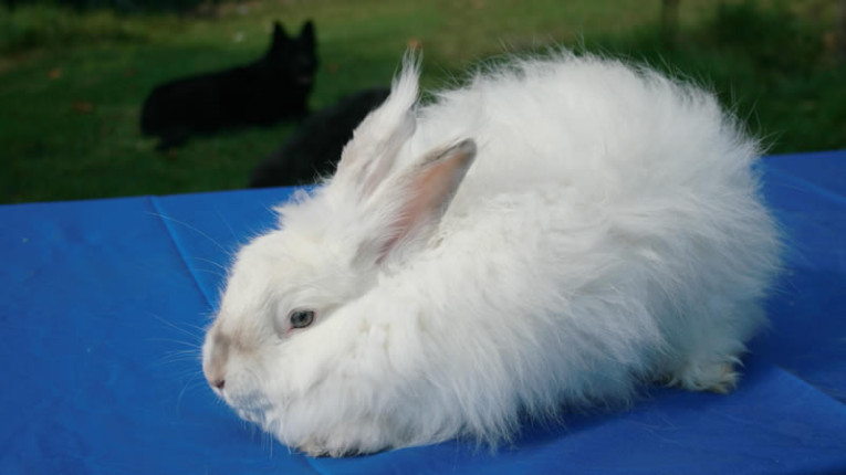 Feeding and Housing of Angora Rabbits