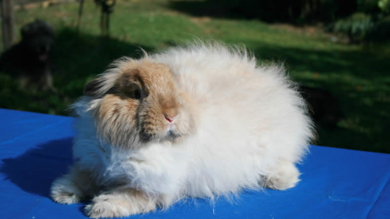 Commercial vs Hobby - Angora rabbit breeding