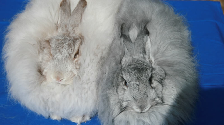 Angora Rabbits - pet bunny or companion?