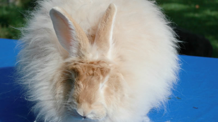 Angora Rabbits - Natal Rabbit Club