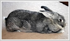 Chinchilla Gigantea Rabbit