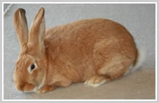 New Zealand Red Rabbit