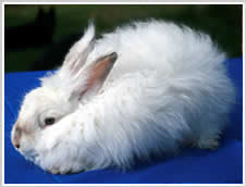 Angora Rabbit Colour - ghost chinchilla or frosted pearl