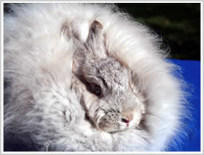 Angora Rabbit - lilac chinchilla - blue eyes in a dilute colour rabbit