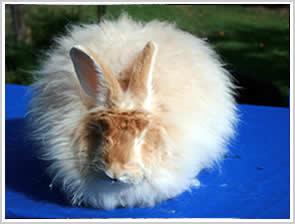 Angora Rabbit - red or golden fawn