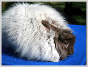 Angora Rabbit - self chinchilla chocolate - note blue eyes