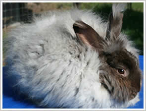 Angora Rabbit - chocolate  - with brown eyes