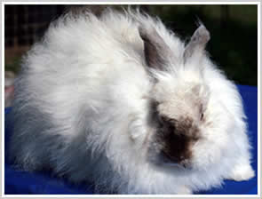 Angora Rabbit - Pearl angora, cream body with dark points