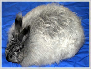 Angora Rabbit - steel chinchilla