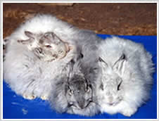 Angora Rabbit Colour - lilac chinchilla, black chinchilla, blue chinchilla - black is the common colour