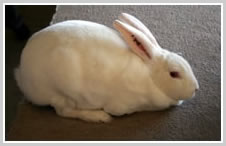 White Rex Rabbit